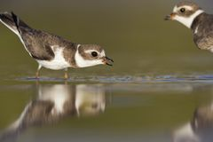 Semipalmated plover Charadrius semipalmatus defending its territory on Florida beach. Semipalmated plover Charadrius semipalmatus ,foraging on Florida beach royalty free stock images