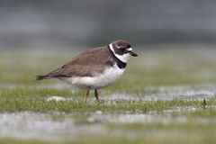Semipalmated plover, Charadrius semipalmatus, Royalty Free Stock Photo