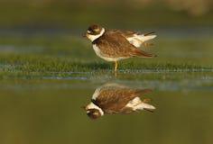 Semipalmated plover, Charadrius semipalmatus Stock Photography