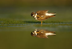 Semipalmated plover, Charadrius semipalmatus Royalty Free Stock Photography