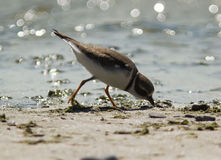 Semipalmated Plover(Charadrius semipalmatus). A small,shorebird,Semipalmated Plover feeding  on the muddy shores of Lake Ontario during fall migration Stock Photography