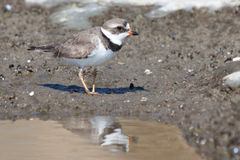 Semipalmated plover. Has its reflection cast in a small tidal puddle while it searches for food Stock Photo