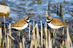 Semipalmated Plover Royalty Free Stock Images