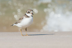 Semipalmated Plover poses by sparkly wave Royalty Free Stock Image