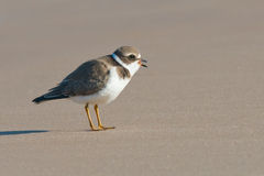 Semipalmated Plover on sand making noise Royalty Free Stock Photos
