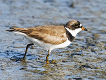 Semipalmated Plover Royalty Free Stock Photography