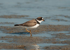 Semipalmated Plover. A tiny Semipalmated Plover quickly runs along the beach of the South Carolina Atlantic coast it was foraging on Royalty Free Stock Images
