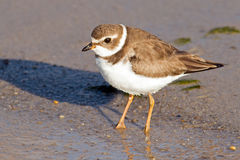 Semipalmated Plover Stock Photos