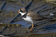 Semipalmated Plover Royalty Free Stock Photos