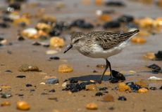 Semipalmated Sandpiper. On a beach among colorful pebbles and stones. This shorebird is in it's summer plumage stock photos