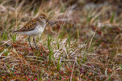 Semipalmated Sandpiper Stock Photography