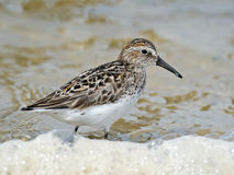 Semipalmated Sandpiper on Beach Stock Photography