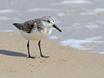 Semipalmated Sandpiper on Beach Royalty Free Stock Photos