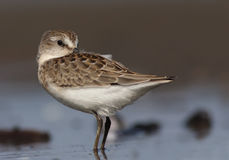 Semipalmated Sandpiper (Calidris pusilla) Stock Photos