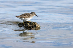 Semipalmated Sandpiper, Calidris pusilla Royalty Free Stock Images