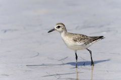 Semipalmated sandpiper,calidris pusilla Stock Images