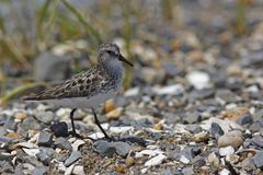 Semipalmated Sandpiper (Calidris pusilla) Royalty Free Stock Images