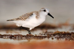 Semipalmated sandpiper, Calidris pusilla, sea water bird in the nature habitat. Animal on the ocean coast. White bird in the sand. Beach Royalty Free Stock Photos