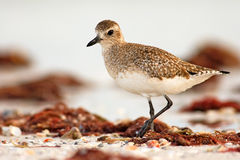Semipalmated sandpiper, Calidris pusilla, sea water bird in the nature habitat. Animal on the ocean coast. White bird in the sand Royalty Free Stock Photo