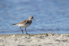 Semipalmated Sandpiper Royalty Free Stock Photos