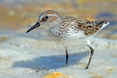 Semipalmated Sandpiper Stock Photo