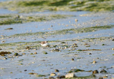 Semipalmated Sandpiper feeding in low tide Royalty Free Stock Images