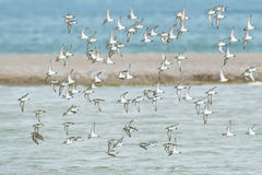 Semipalmated Sandpiper Royalty Free Stock Image