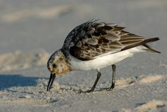Semipalmated Sandpiper Foraging. In the sand royalty free stock images