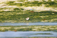 Semipalmated Sandpiper and the green sea weeds Royalty Free Stock Image