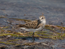 Semipalmated Sandpiper Royalty Free Stock Photography
