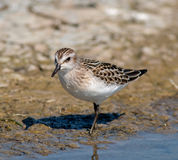Semipalmated Sandpiper Royalty Free Stock Photo