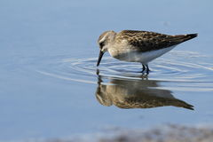 Semipalmated sandpiper with reflection Royalty Free Stock Photos