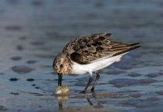 Semipalmated Sandpiper with Sand Crab. Semipalmated Sandpiper catching a Sand Crab royalty free stock image