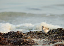 Semipalmated Sandpiper searching food Stock Photography