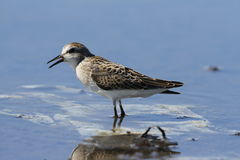Semipalmated sandpiper singing Stock Images