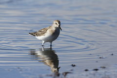 Semipalmated sandpiper standing in water Stock Photography
