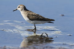 Semipalmated sandpiper staring off into the distance. While standing in water Royalty Free Stock Photography