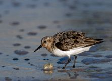 Semipalmated Sandpiper in the Surf. Semipalmated Sandpiper catching a Sand Crab stock photo