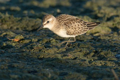 Semipalmated Sandpiper Stock Photos