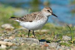 Semipalmated Sandpiper Royalty Free Stock Images