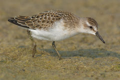 Semipalmated Sandpiper Stock Images