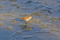 Semipalmated Sandpiper Wandering in a Salt water wetland Stock Image