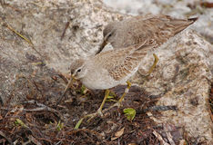 Semipalmated Sandpipers Obrazy Royalty Free
