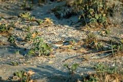 Semipalmatus del Charadrius fotografia stock