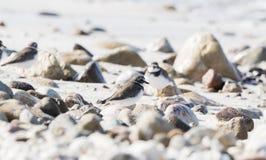 Semipalmatus del Charadrius del piviere di Semipalmated su una spiaggia di sabbia bianca immagini stock libere da diritti