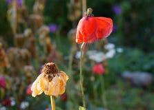 Semirechie fiorisce al sole Fotografie Stock Libere da Diritti