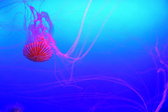 Semitransparent Japanese Sea Nettle Jelly fish Chrysaora pacifica in aquarium Stock Images