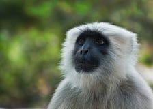 Semnopithecus (灰色叶猴)猴子 免版税库存图片