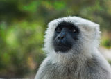 Semnopithecus (Gray Langur) monkey Royalty Free Stock Image