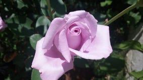 Lila rose stock photos